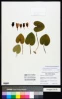 Hexastylis contracta image