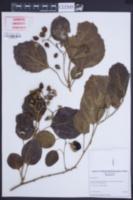 Cordia myxa image