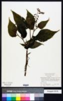 Rhynchoglossum azureum image