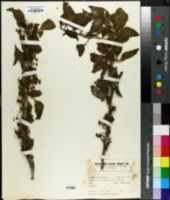 Vassobia breviflora image