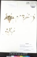 Viola bakeri image
