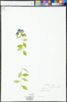 Hydrolea ovata image