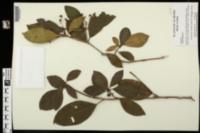 Kalmia latifolia image