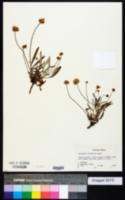 Image of Eriogonum coloradense