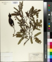 Image of Lysiloma bahamensis