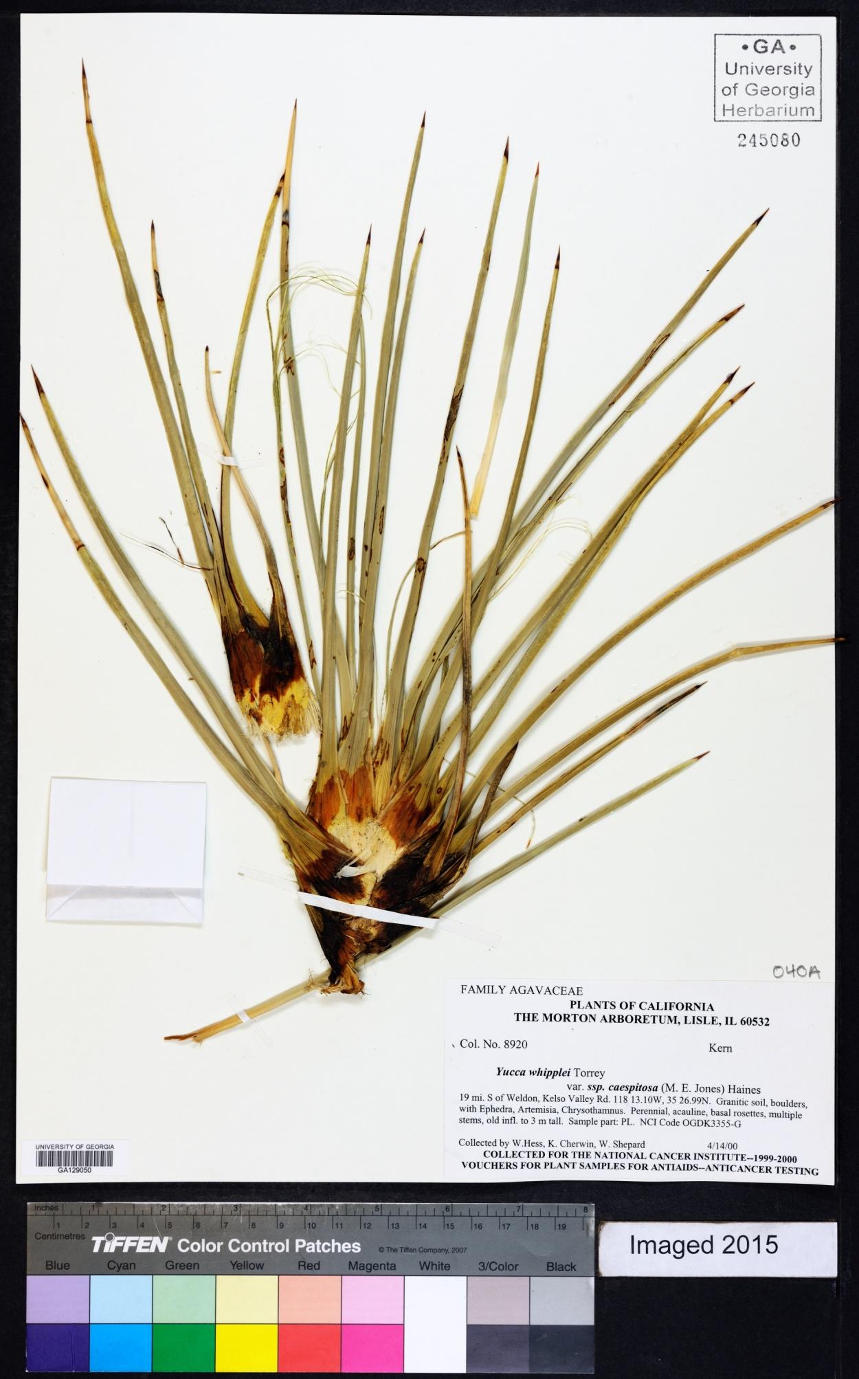 Yucca whipplei var. caespitosa image