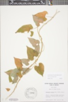 Image of Dioscorea polystachya