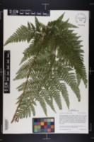 Image of Microlepia setosa