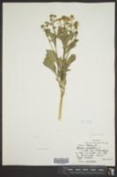 Brassica rapa var. rapa image