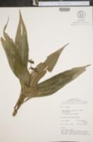 Campelia zanonia image