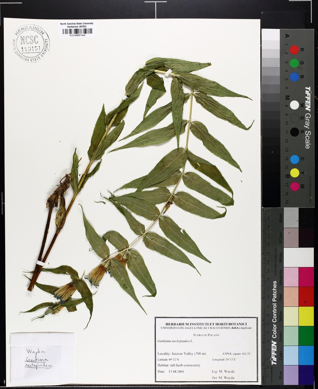Gentiana asclepiadea image