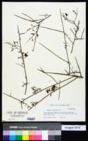 Image of Krameria paucifolia