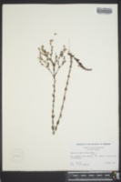 Hypericum denticulatum image