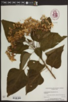 Image of Clerodendrum fragrans