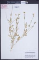 Image of Didesmus aegyptius