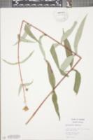 Image of Helianthus eggertii