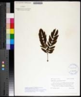 Calliandra houstoniana var. anomala image