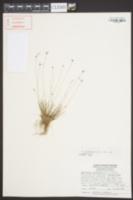 Bulbostylis ciliatifolia var. ciliatifolia image