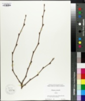 Image of Platanus orientalis