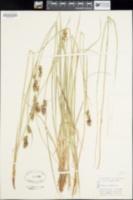 Image of Carex buxbaumii