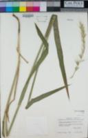 Image of Leymus californicus