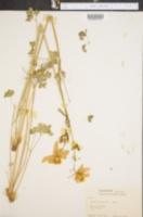 Aquilegia coerulea image