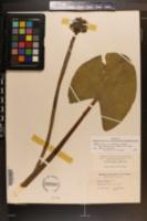 Nuphar lutea subsp. advena image