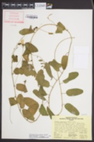 Stylisma humistrata image