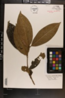 Image of Camellia petelotii