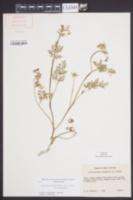 Chaerophyllum procumbens var. procumbens image