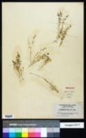Scopulophila nitrophiloides image