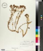 Euphorbia exigua image