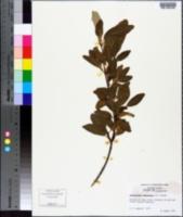 Image of Lepargyraea canadensis