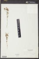 Polygala cruciata image