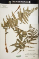 Dryopteris ludoviciana image