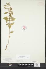 Lycopus europaeus var. mollis image
