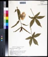 Image of Hibiscus meraukensis