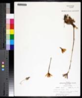 Zephyranthes texana image