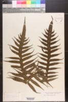 Image of Pteris aculeata