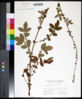Agrimonia eupatoria image