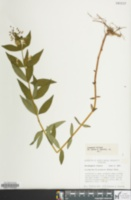 Image of Lysimachia x producta