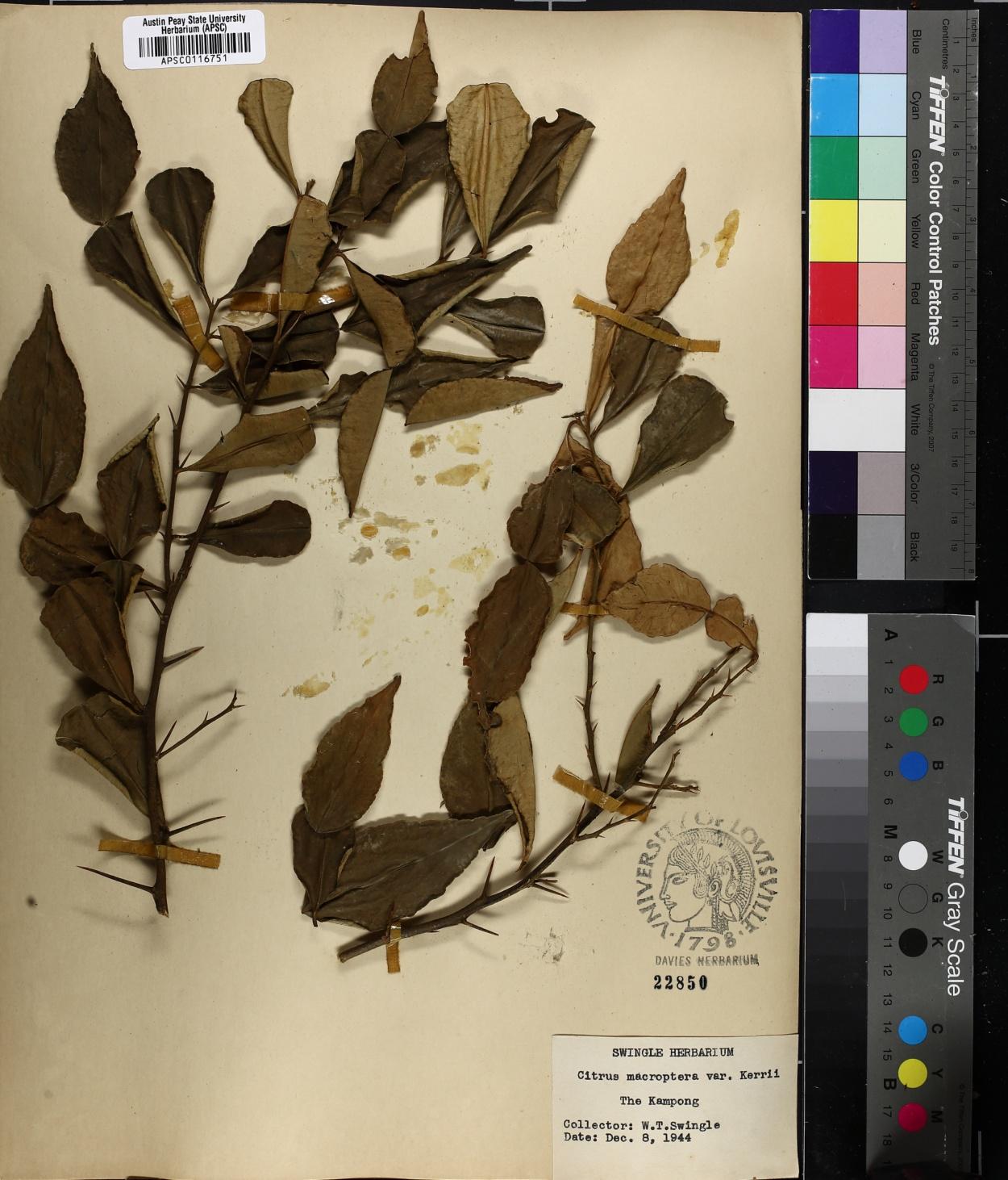 Citrus macroptera image