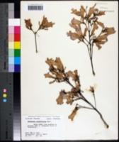 Image of Jacaranda cuspidifolia