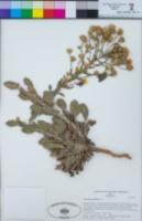 Heterotheca grandiflora image