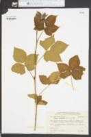 Image of Rubus varus