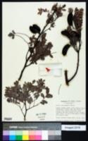 Image of Acacia choriophylla