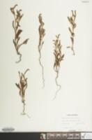 Heliotropium curassavicum image