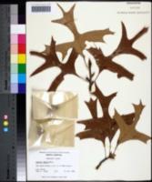 Quercus laevis image