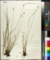 Image of Carex abbreviata