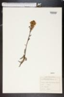 Image of Pedicularis tuberosa